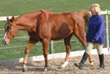 Understand Your Horse. Horse handling, natural horsemanship at liberty in a round pen.